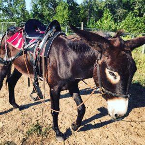 how to traing donkeys