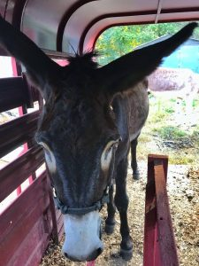 how to train a donkey to load, donkey training