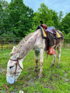 riding donkey for sale