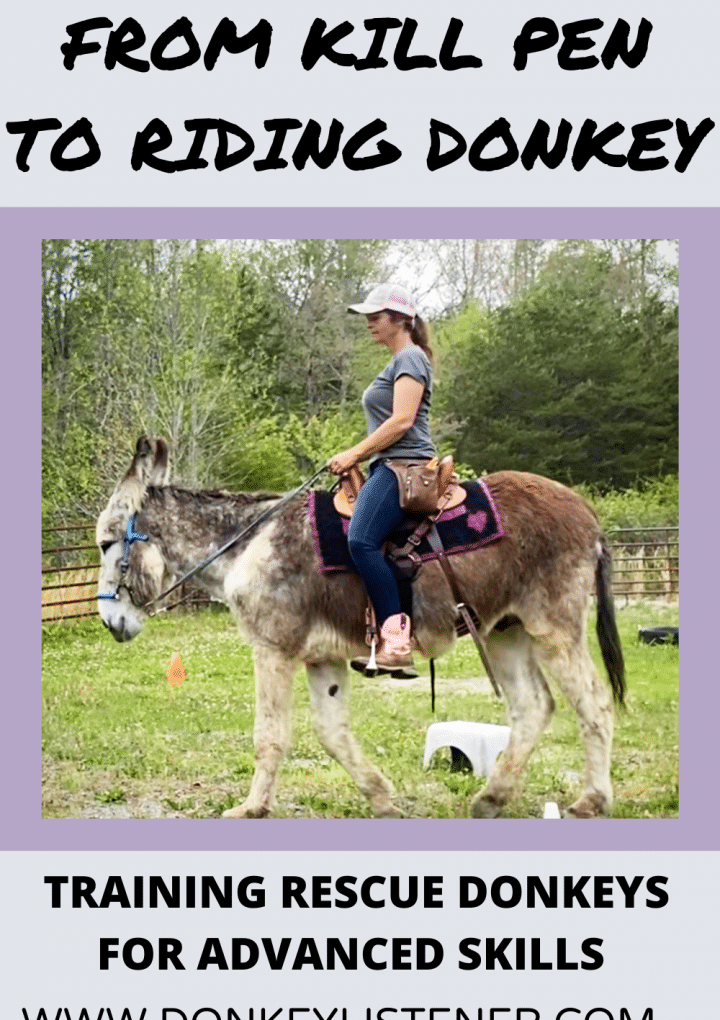 Saddle Donkey Training Update